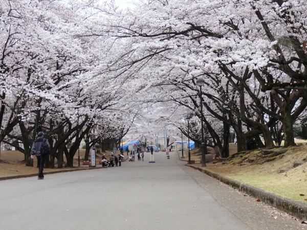 稲荷山公園の桜1