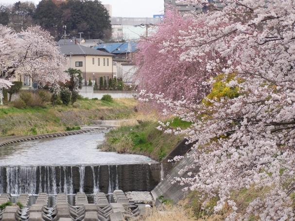 霜川と桜2