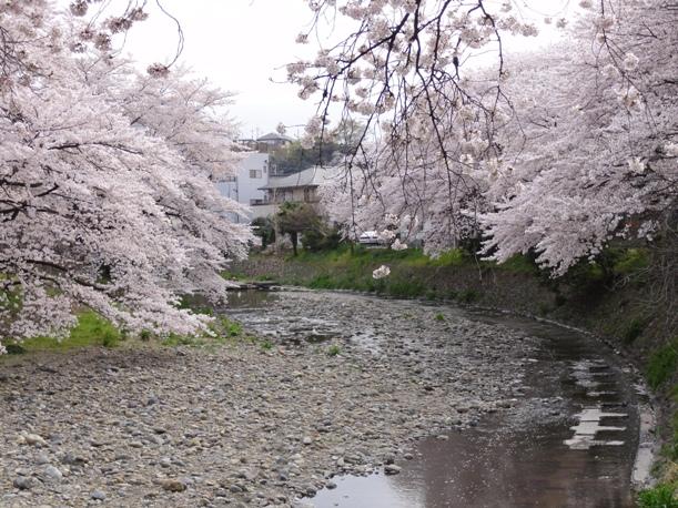 霜川の桜7