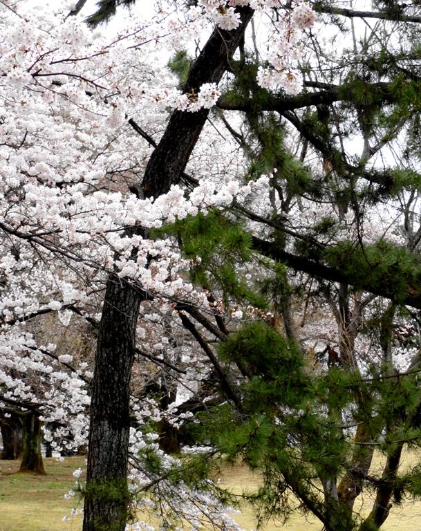 稲荷山公園桜と松