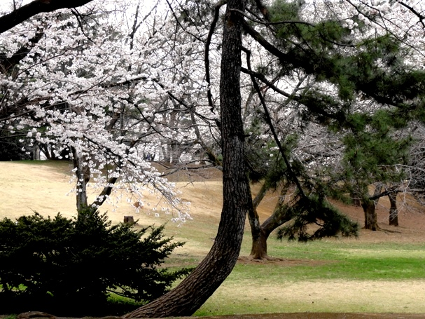 稲荷山公園桜と松2