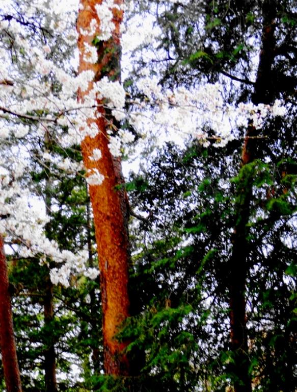 稲荷山公園赤松と桜