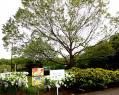 ハンカチの木全体