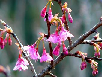 桜P1030390