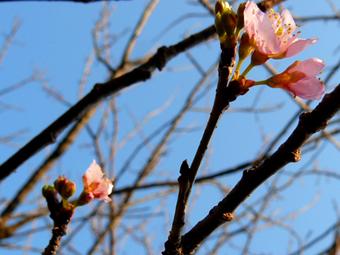 桜P1030415