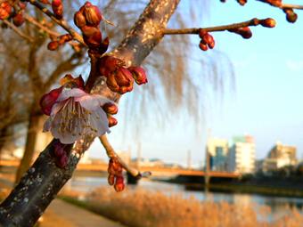 桜P1730148