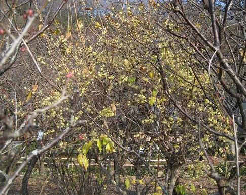 ローバイの木 109