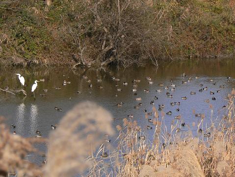 カモの池 176