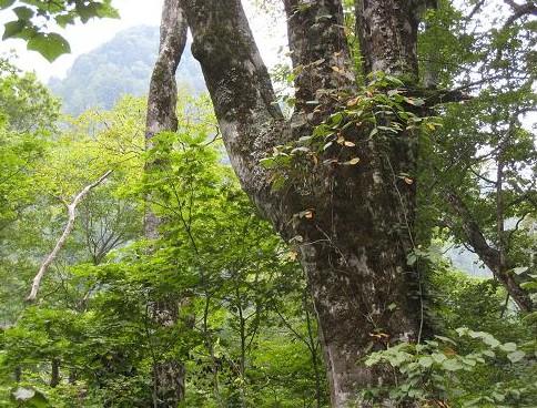 ブナの巨木&雑木林 293