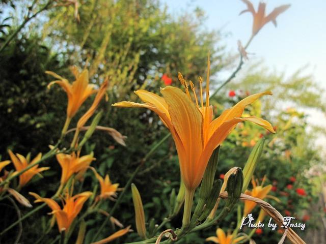 20110326-3ノカンゾウ