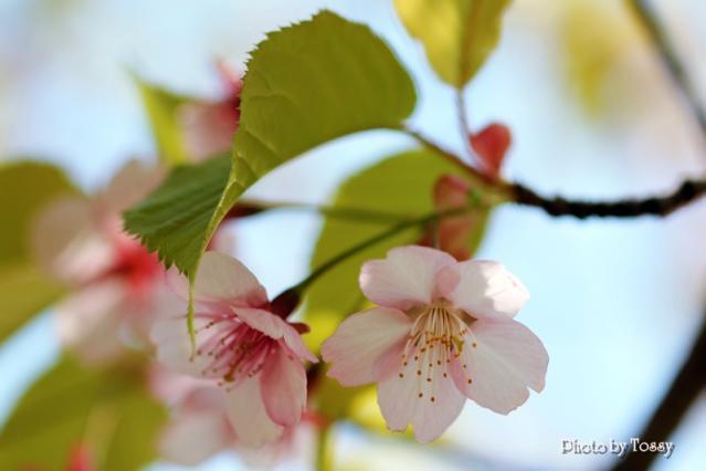 20110331-1河津桜