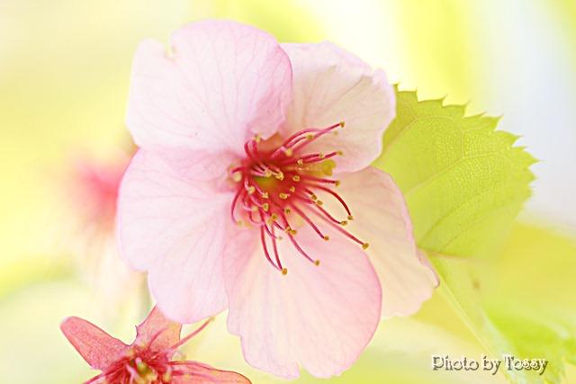 20110331-2河津桜