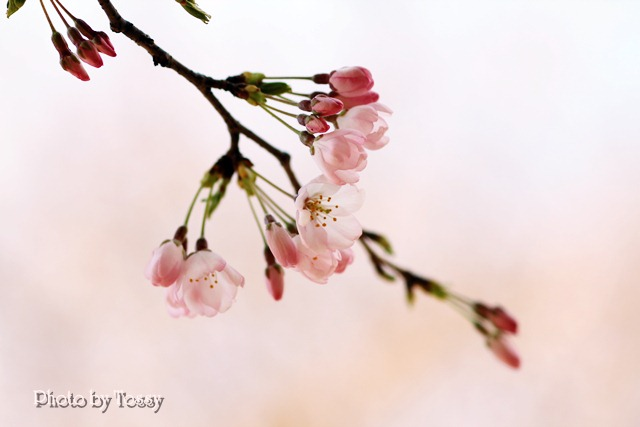 20110331-4河津桜