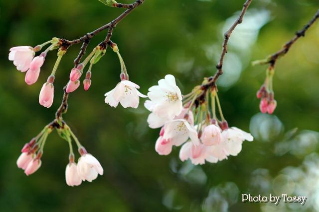 20110331-5河津桜