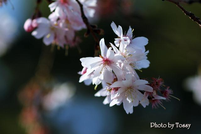 20110331-6河津桜