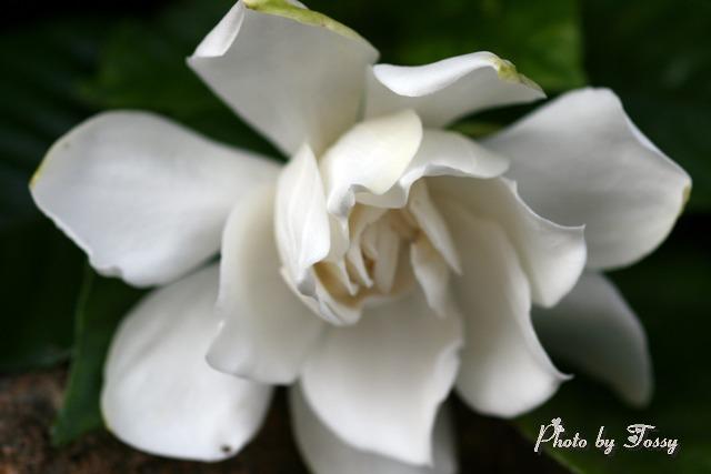 20110425-4クチナシの花