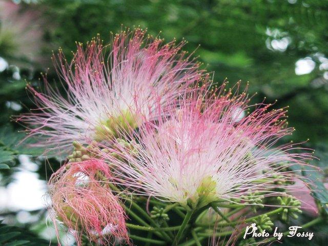 20110505-3ネムノキの花
