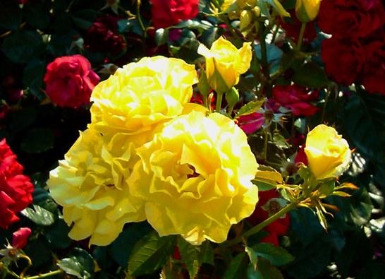 20130605 roses