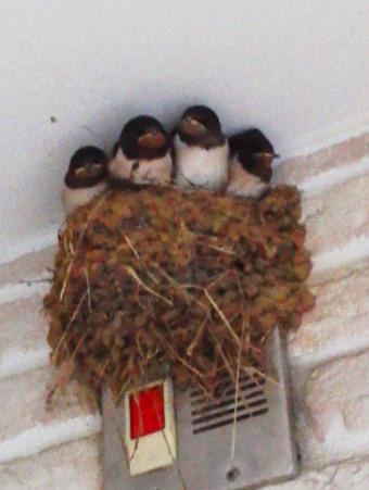 swallowbabies 20130805