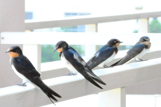 4swallows20130711DSC_0013sml.jpg