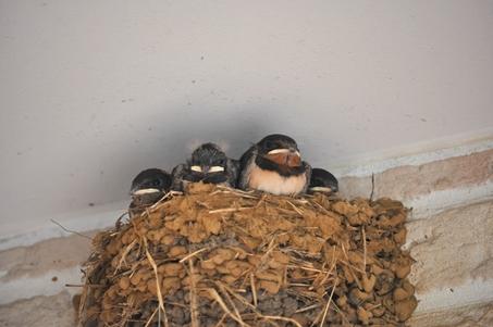 swallowbabies20130729whlDSC_0037.jpg