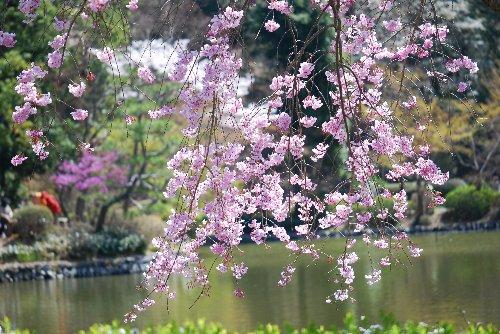 110417 桜 ヤエベニシダレ