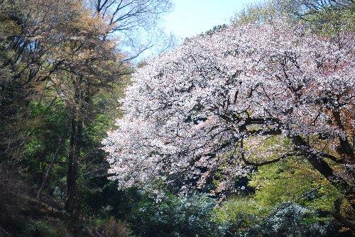 110417 桜