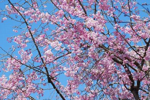 110417 桜fdhjこぱsdfじzsdf