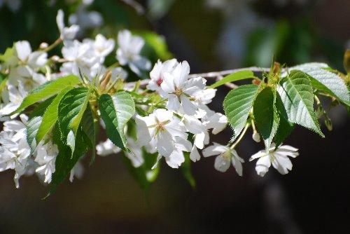 110417 桜fds