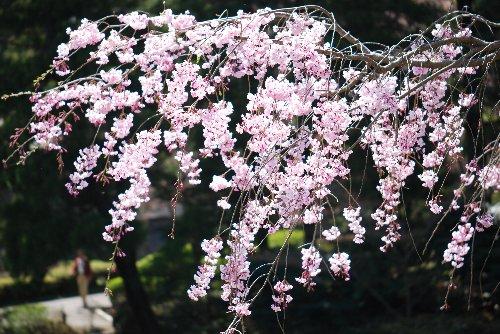 110417 桜fds;l;ぽp