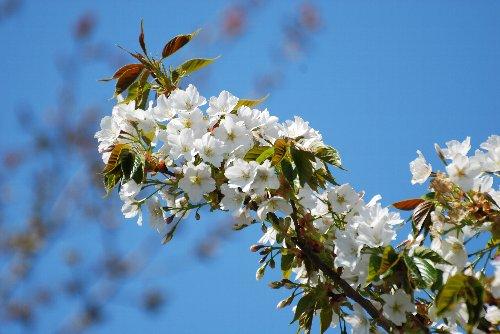 110417 桜fhdhっgf