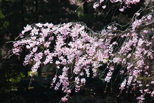 110417 桜fsdkgh