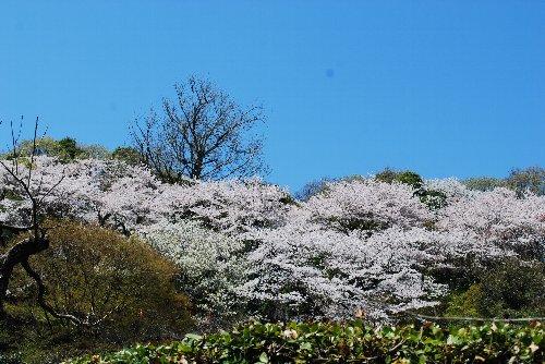 110417 桜fっg