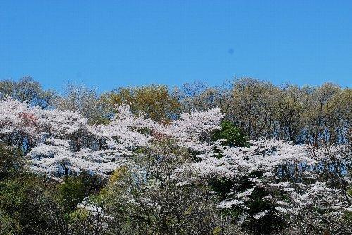 110417 桜kpほpじ