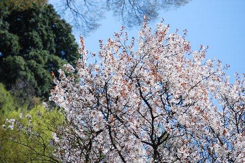 110417 桜あfsdんh;l