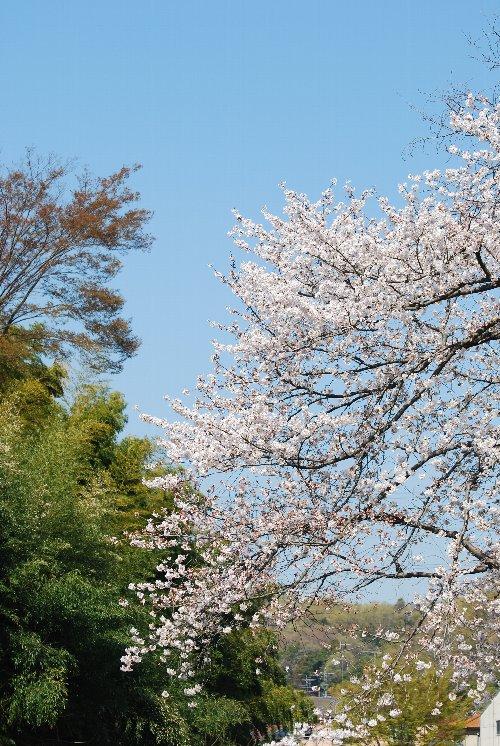 110418 桜鶴見川gfzsfでゅい