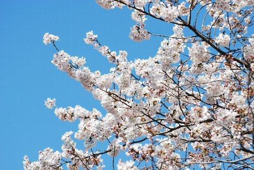 110418 桜 鶴見川gkldf