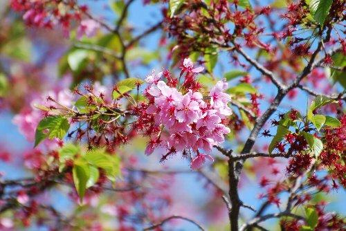 110418 桜 鶴見川 陽光