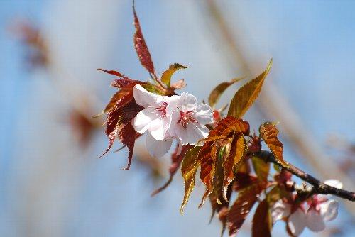 110418 桜 鶴見川っfdさ