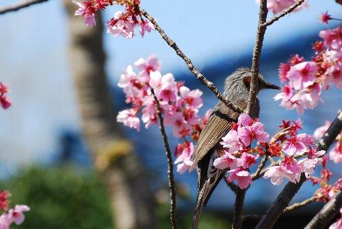 110418 桜ひよ