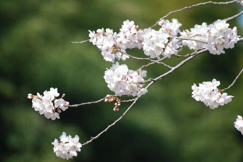 桜 110418 鶴見川gfじおあwふぇじ