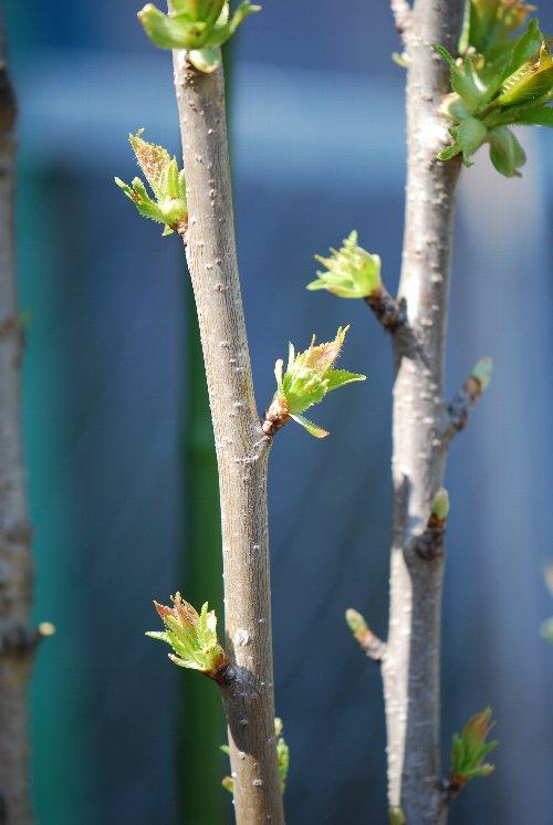 110421 桜