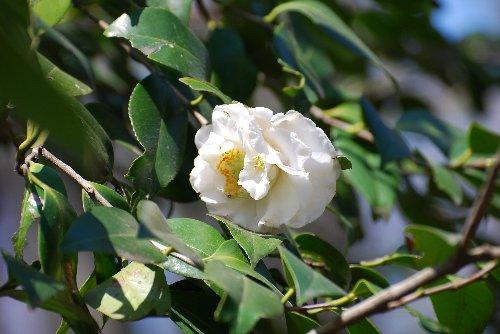 110421 白牡丹咲き錦魚椿