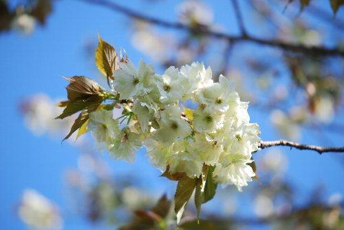 110425 桜うこん