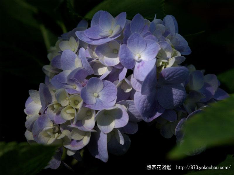 アジサイ(紫陽花)壁紙写真