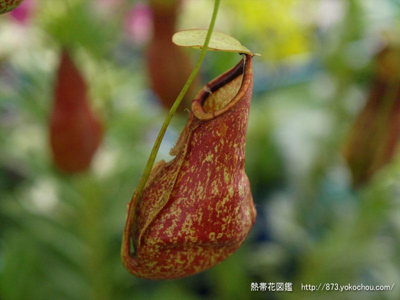 食虫植物ウツボカズラ