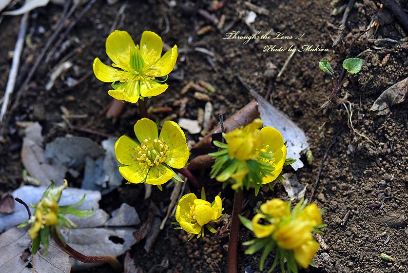 黄花セツブンソウ3