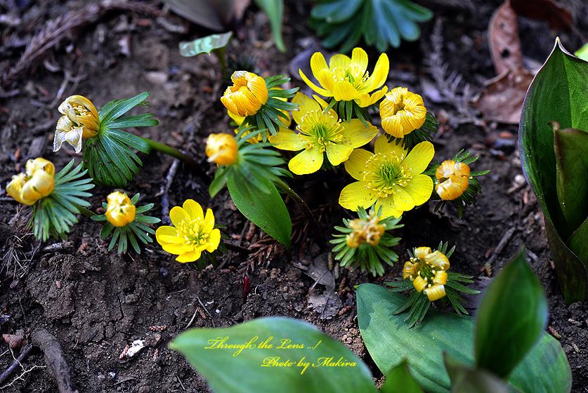 黄花セツブンソウ2