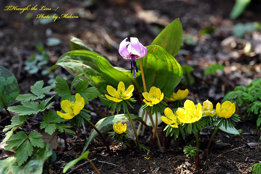 黄花セツブンソウとカタクリ1