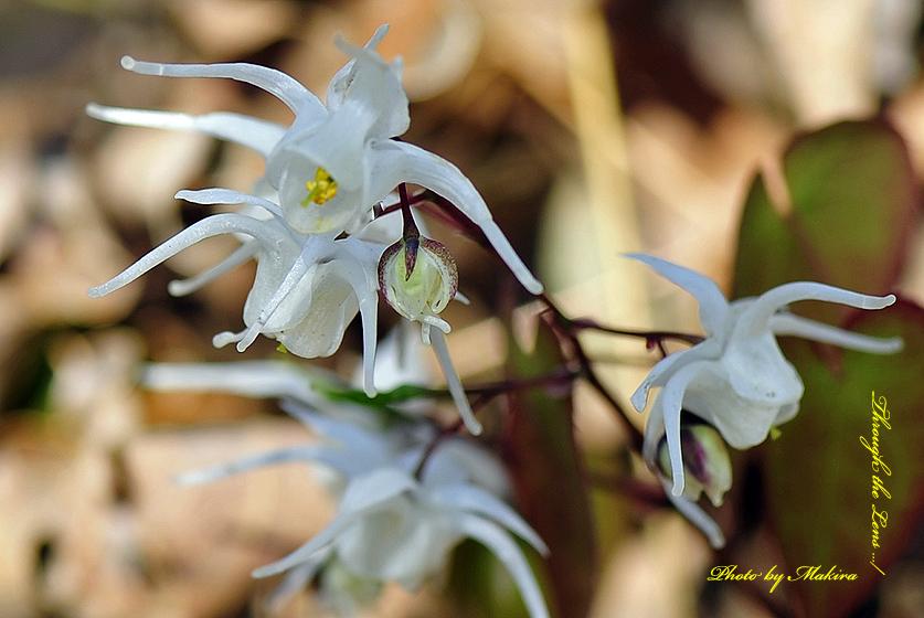 トキワイカリソウ(白花)3